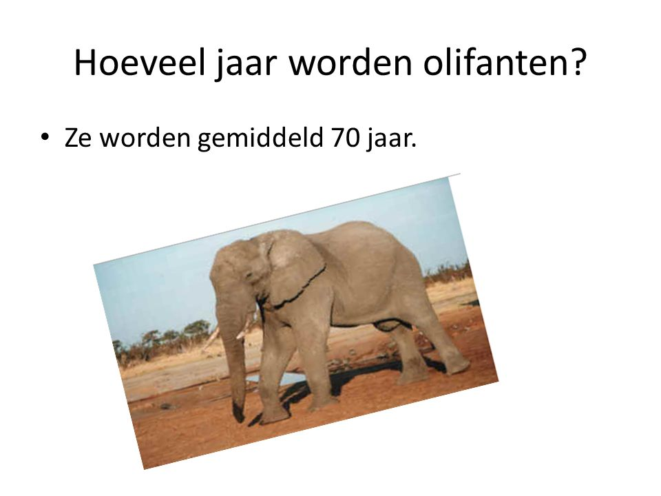 Hoeveel jaar worden olifanten? Ze worden gemiddeld 70 jaar.