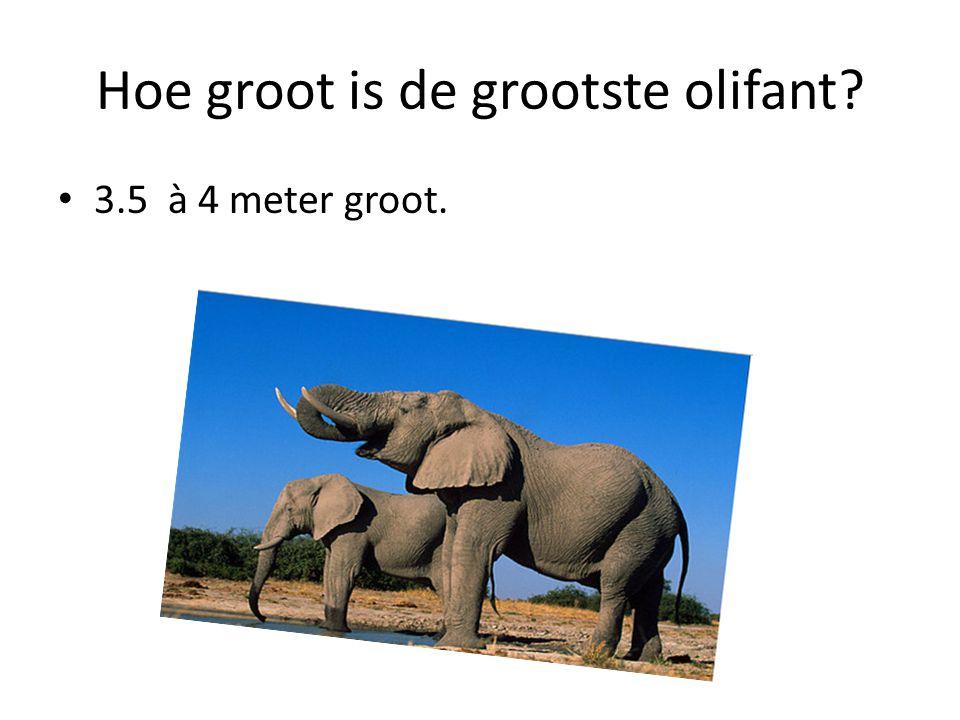 Hoe groot is de grootste olifant? 3.5 à 4 meter groot.
