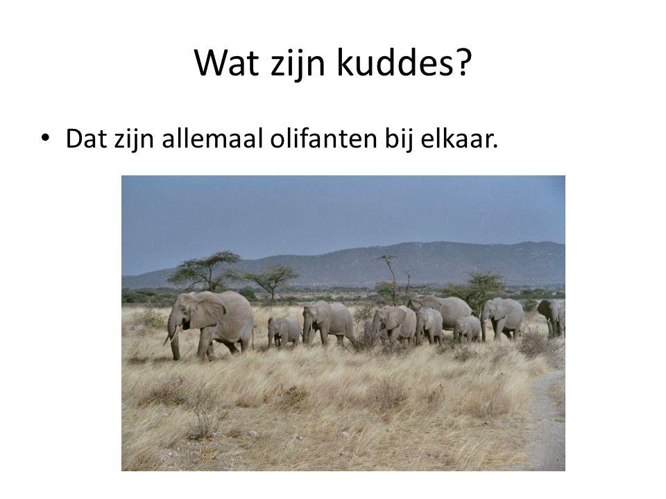 Wat zijn kuddes? Dat zijn allemaal olifanten bij elkaar.