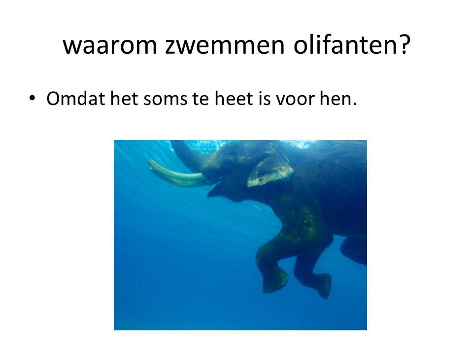 waarom zwemmen olifanten? Omdat het soms te heet is voor hen.