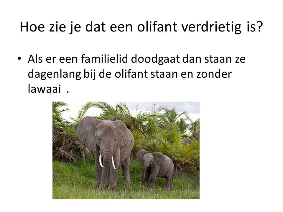 Hoe zie je dat een olifant verdrietig is? Als er een familielid doodgaat dan staan ze dagenlang bij de olifant staan en zonder lawaai.