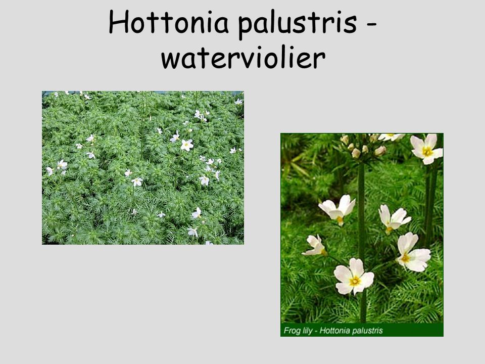 Hippuris vulgaris - lidsteng