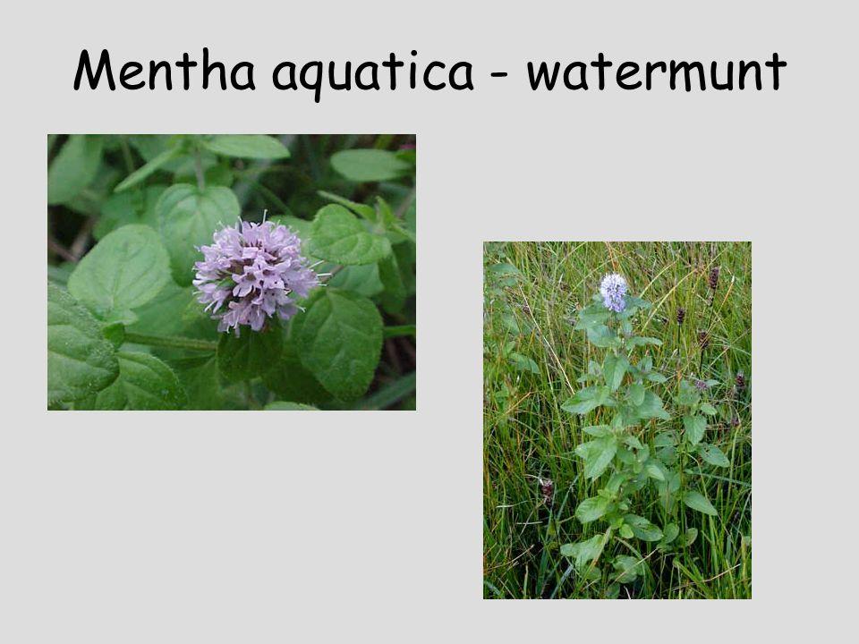 Lythrum salicaria - kattenstaart