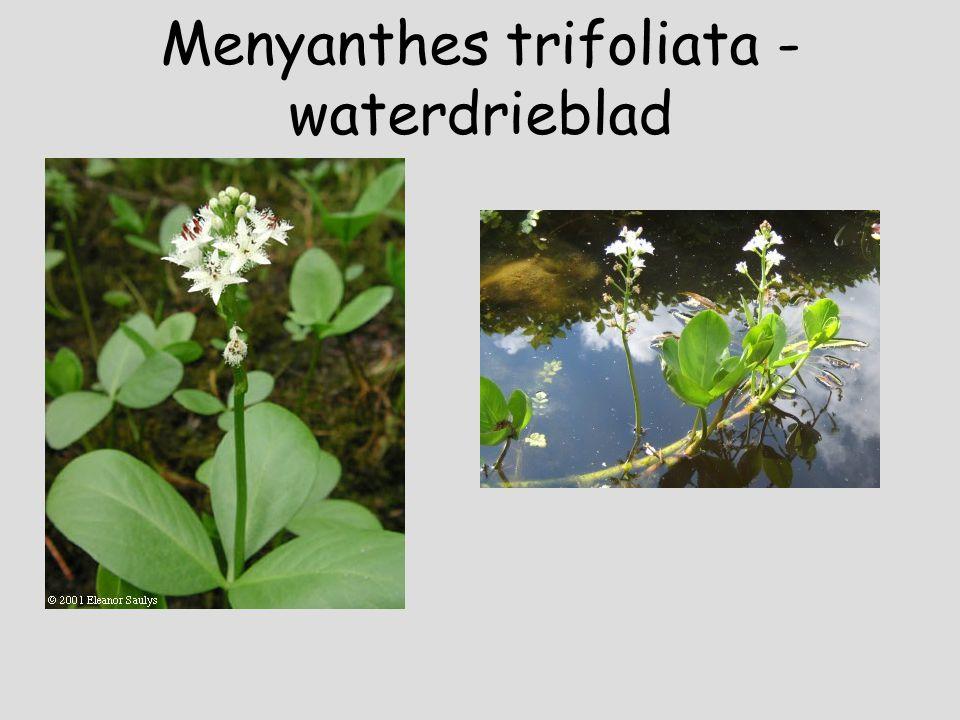 Mentha aquatica - watermunt