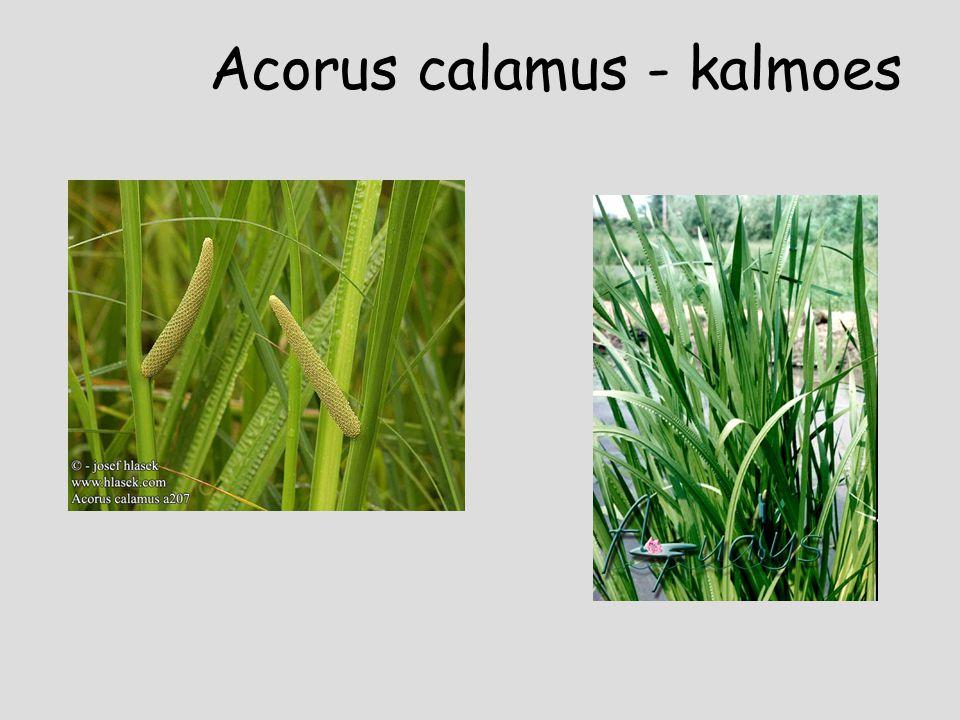Acorus calamus - kalmoes