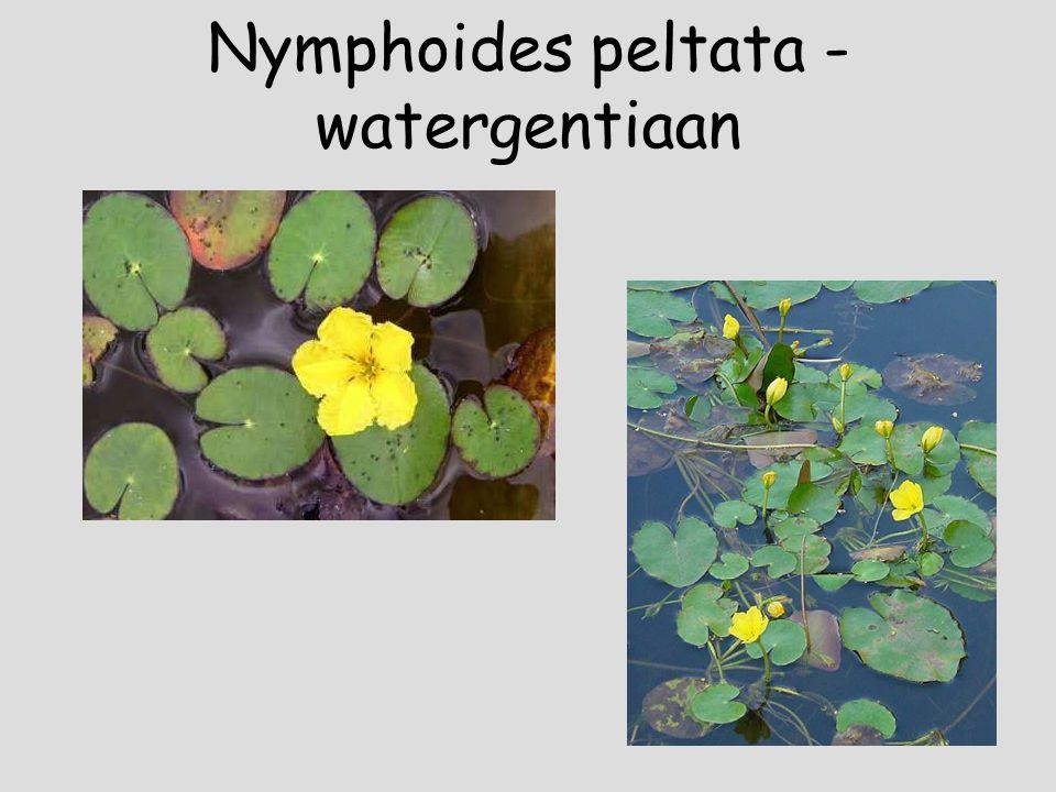 Nymphaea alba – witte waterlelie