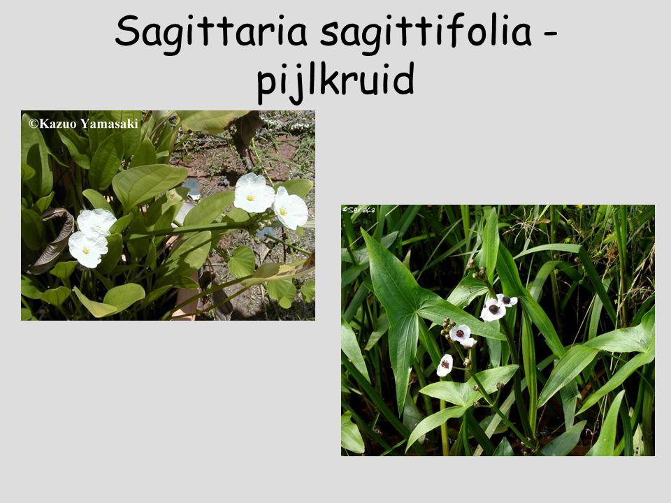 Ranunculus lingua – grote boterbloem