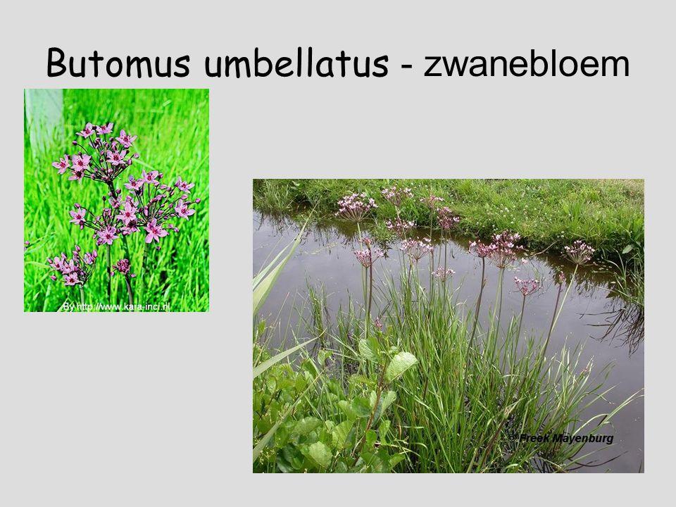 Butomus umbellatus - zwanebloem