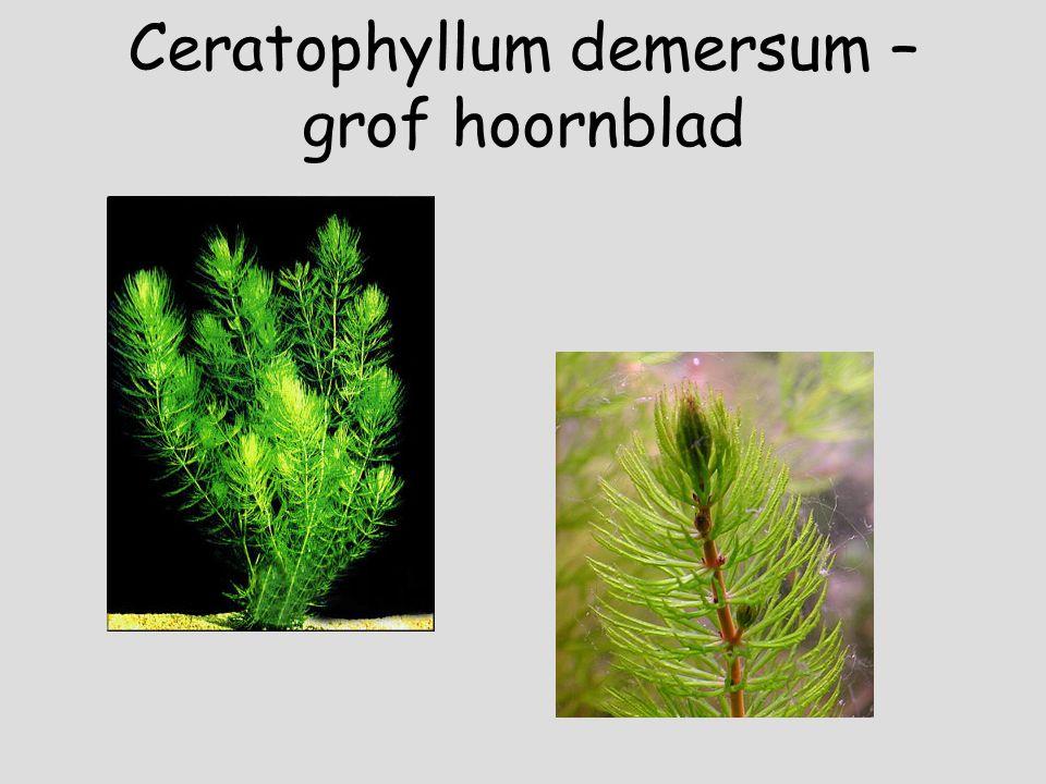 Ceratophyllum demersum – grof hoornblad