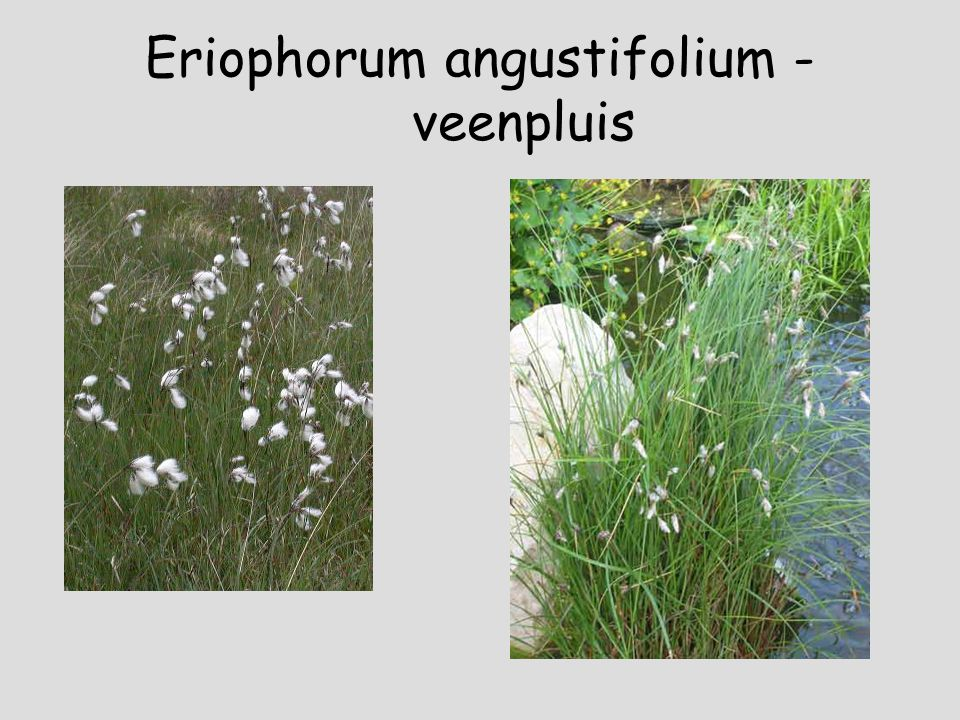 Eriophorum angustifolium - veenpluis