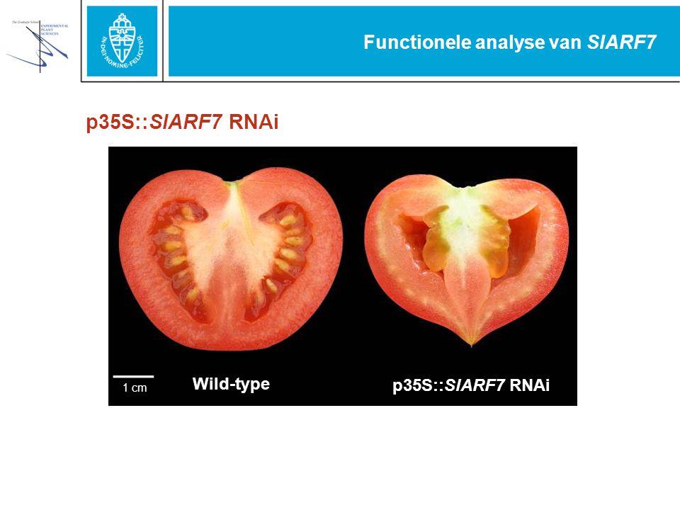 Functionele analyse van SlARF7 1cm Wild-type p35S::SlARF7 RNAi