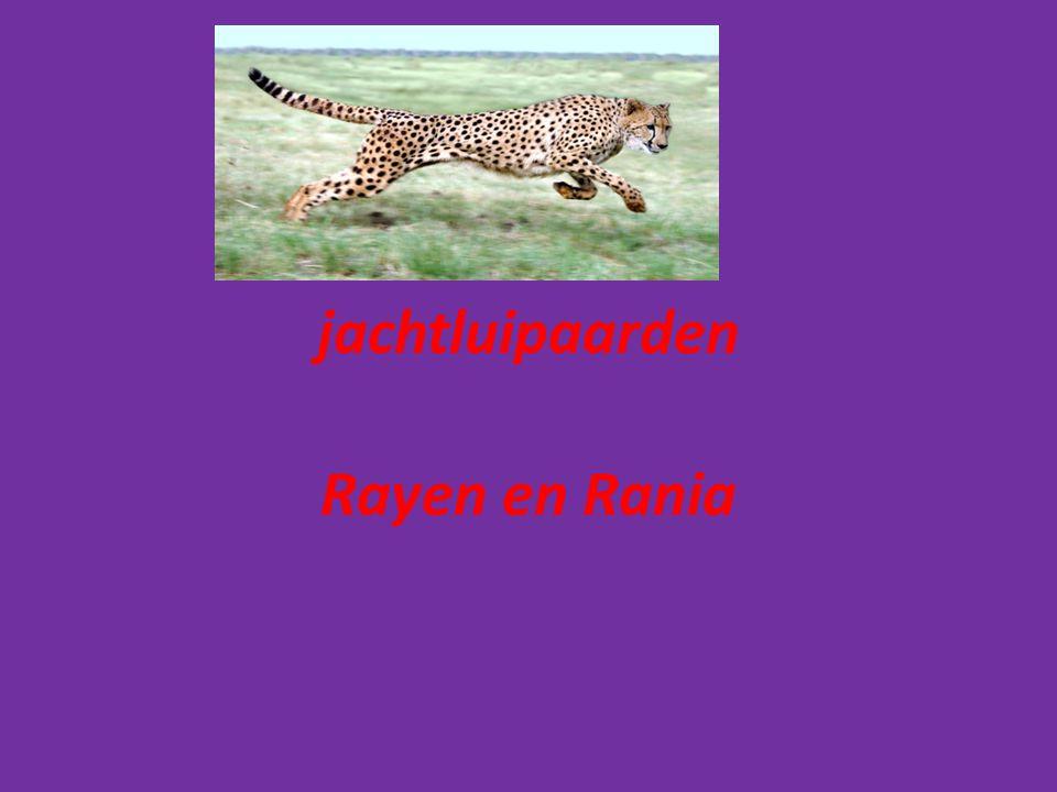 jachtluipaarden Rayen en Rania
