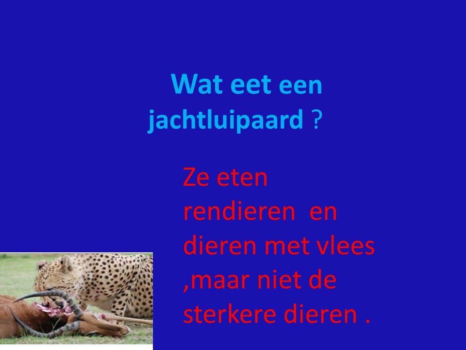 Wat eet een jachtluipaard ? Ze eten rendieren en dieren met vlees,maar niet de sterkere dieren.