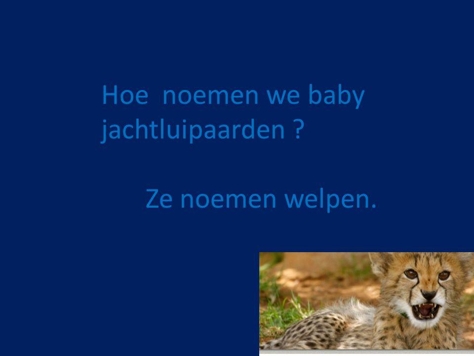Hoe noemen we baby jachtluipaarden ? Ze noemen welpen.