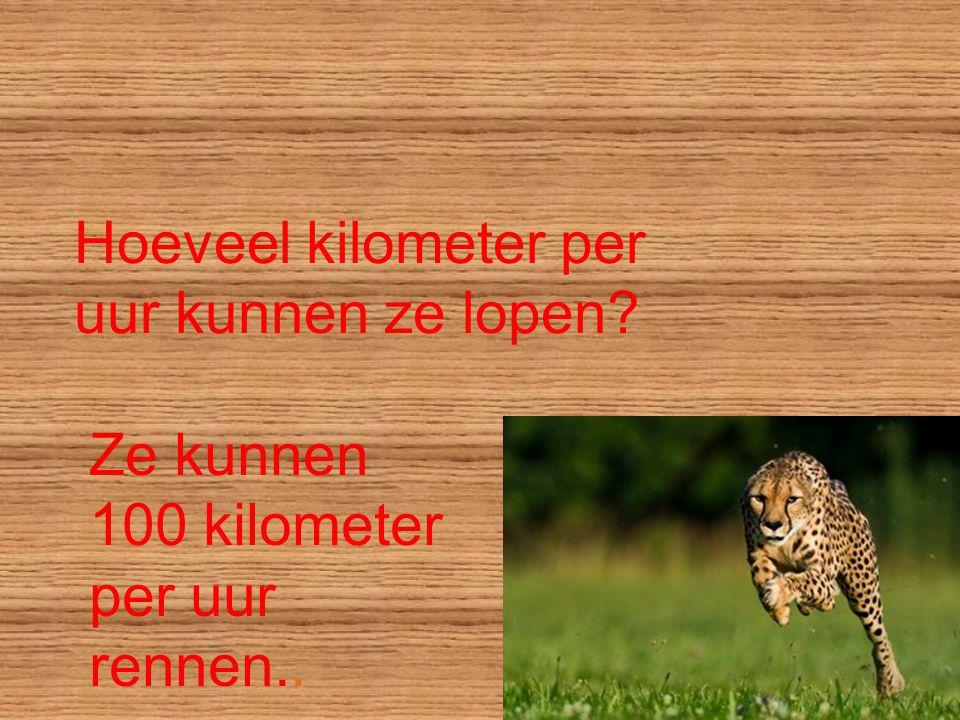 Hoeveel kilometer per uur kunnen ze lopen? Ze kunnen 100 kilometer per uur rennen..