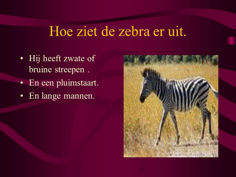 Hoe ziet de zebra er uit. Hij heeft zwate of bruine streepen. En een pluimstaart. En lange mannen.