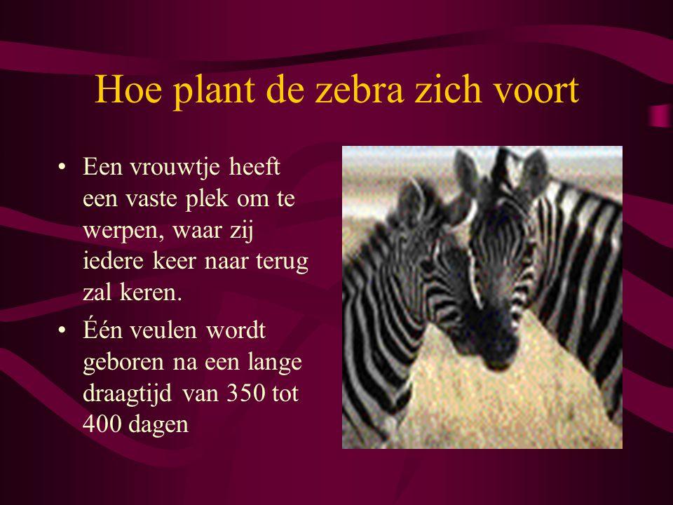 Hoe plant de zebra zich voort Een vrouwtje heeft een vaste plek om te werpen, waar zij iedere keer naar terug zal keren. Één veulen wordt geboren na e
