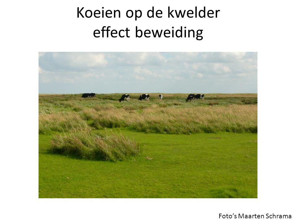 Koeien op de kwelder effect beweiding Foto's Maarten Schrama