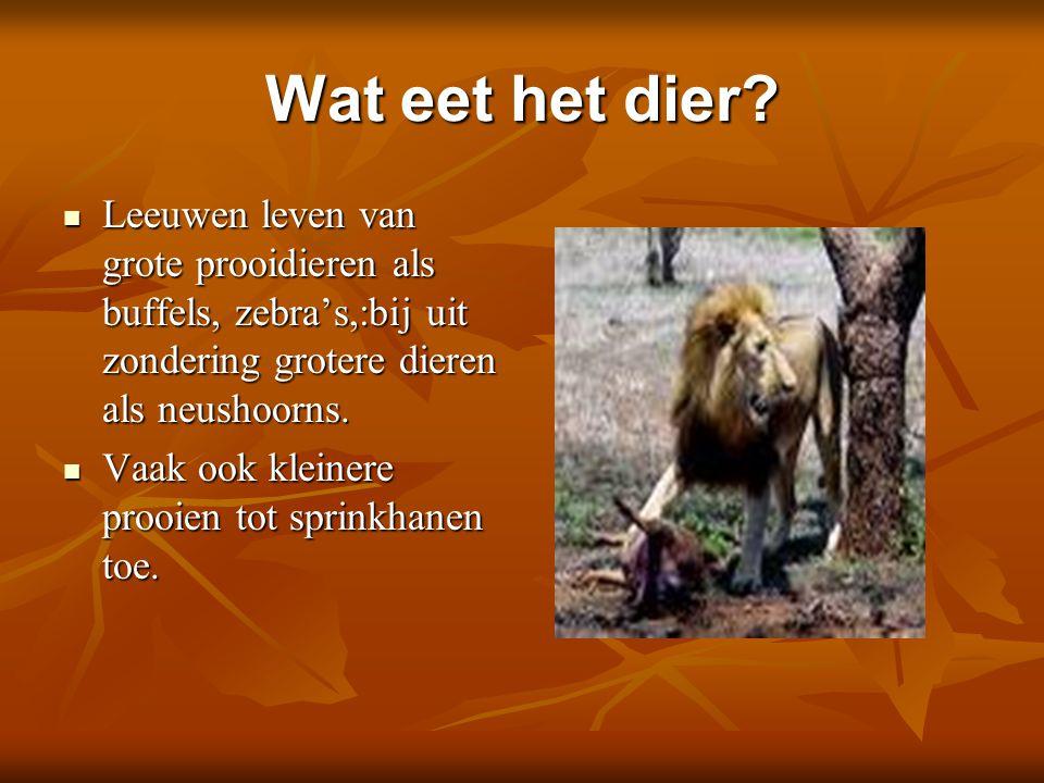 Wat eet het dier? Leeuwen leven van grote prooidieren als buffels, zebra's,:bij uit zondering grotere dieren als neushoorns. Leeuwen leven van grote p