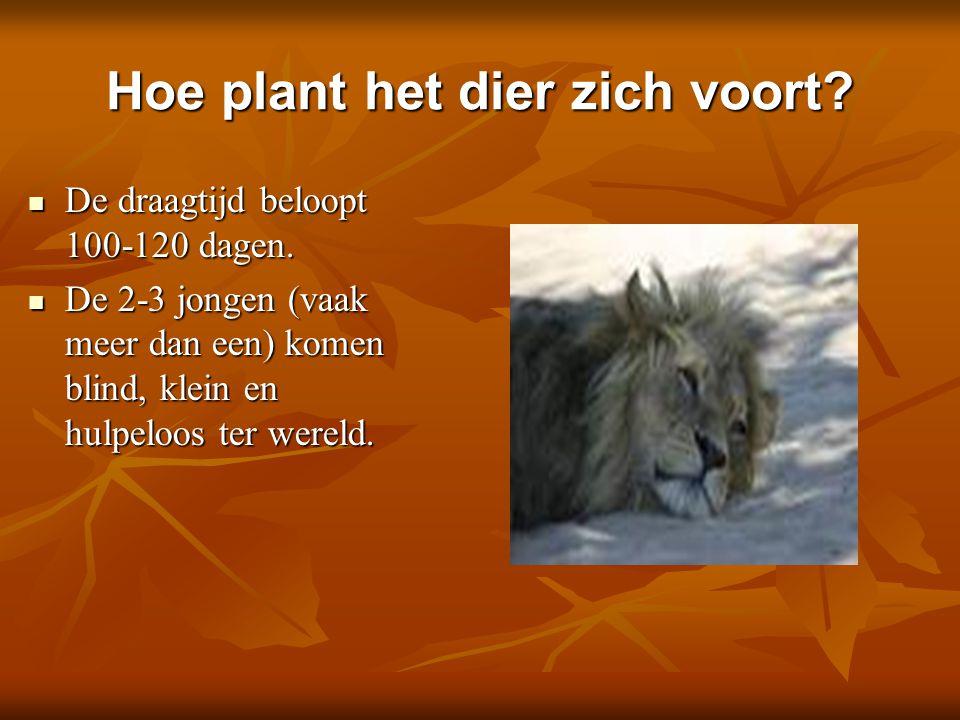 Hoe plant het dier zich voort? De draagtijd beloopt 100-120 dagen. De draagtijd beloopt 100-120 dagen. De 2-3 jongen (vaak meer dan een) komen blind,