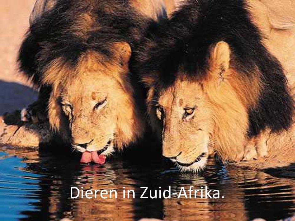 Inhoud: Leven de dieren in groepen.Hoe oud worden big five dieren.