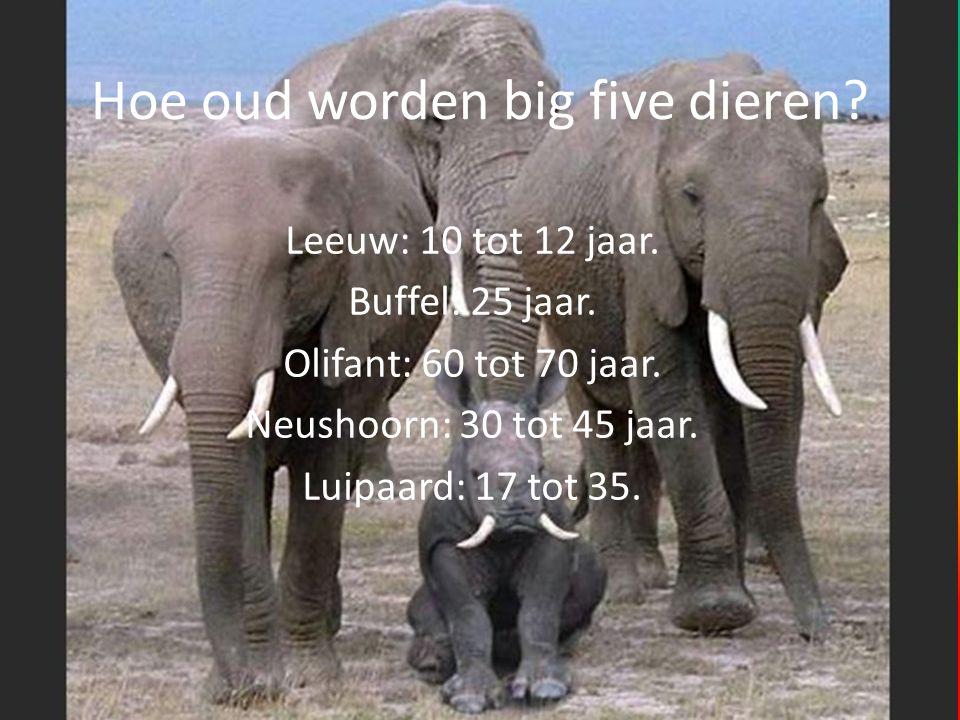 Hoe oud worden big five dieren? Leeuw: 10 tot 12 jaar. Buffel: 25 jaar. Olifant: 60 tot 70 jaar. Neushoorn: 30 tot 45 jaar. Luipaard: 17 tot 35.