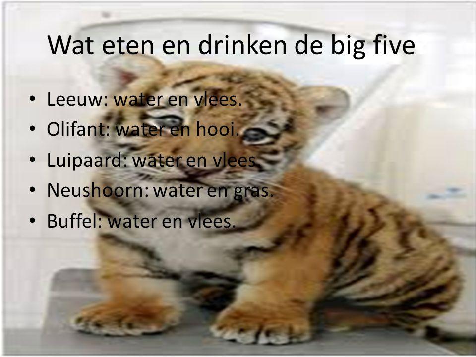 Wat eten en drinken de big five? Leeuw: water en vlees. Olifant: water en hooi. Luipaard: water en vlees. Neushoorn: water en gras. Buffel: water en v