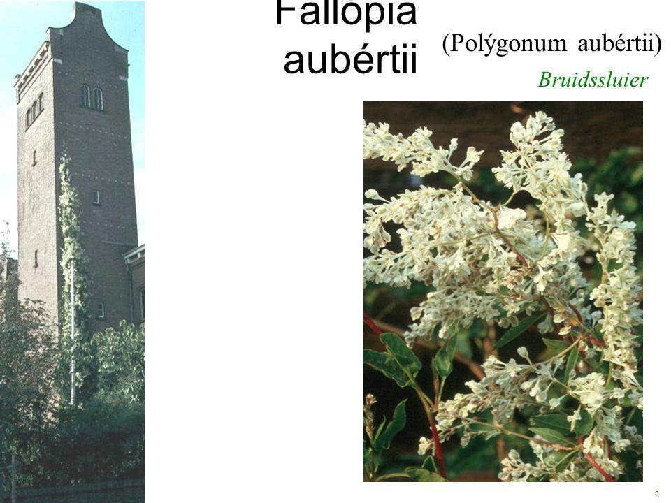 Bruidssluier (Polýgonum aubértii) 2inhoud: 2 Fallópia aubértii