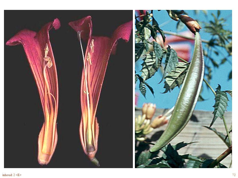 Parthenocíssus quinquefólia Wilde wingerd hechtschijfjes 45inhoud: 2