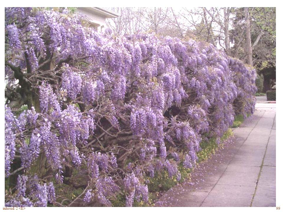 bloemen verschijnen vóór de bladontluiking Wisteria sinensis bloei 99inhoud: 2