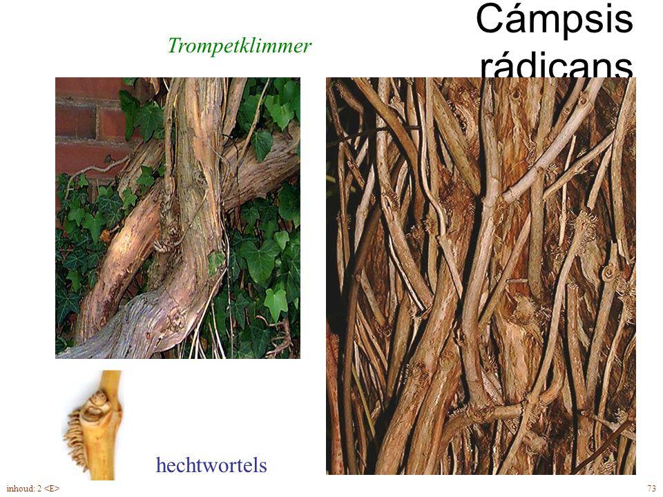 Cámpsis rádicans Trompetklimmer hechtwortels 73inhoud: 2
