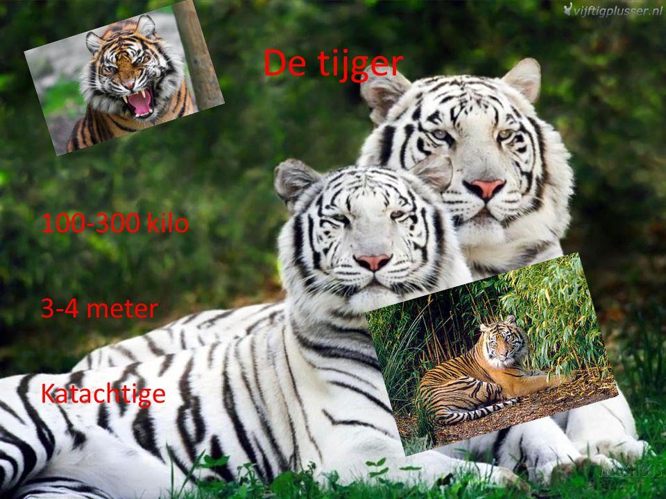 De tijger 100-300 kilo 3-4 meter Katachtige