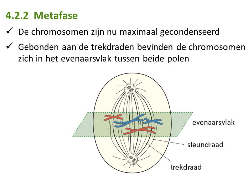 4.2.2 Metafase De chromosomen zijn nu maximaal gecondenseerd Gebonden aan de trekdraden bevinden de chromosomen zich in het evenaarsvlak tussen beide