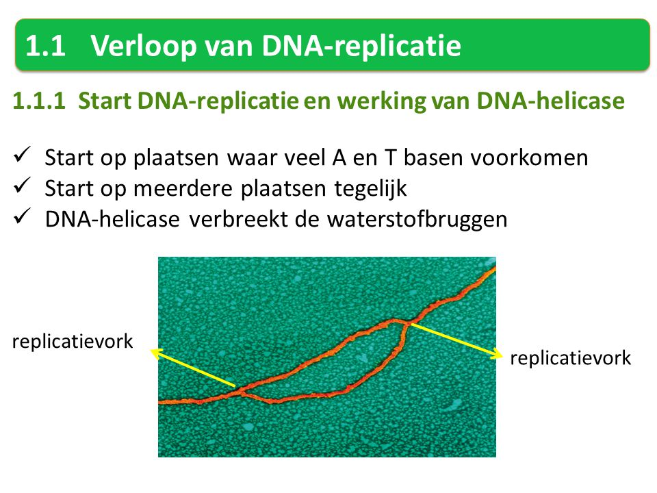 1.1Verloop van DNA-replicatie 1.1.1 Start DNA-replicatie en werking van DNA-helicase Start op plaatsen waar veel A en T basen voorkomen Start op meerdere plaatsen tegelijk DNA-helicase verbreekt de waterstofbruggen replicatievork