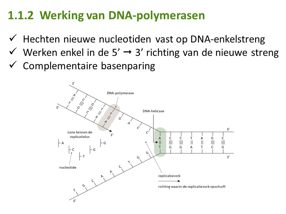 1.1.2 Werking van DNA-polymerasen Hechten nieuwe nucleotiden vast op DNA-enkelstreng Werken enkel in de 5'  3' richting van de nieuwe streng Complementaire basenparing