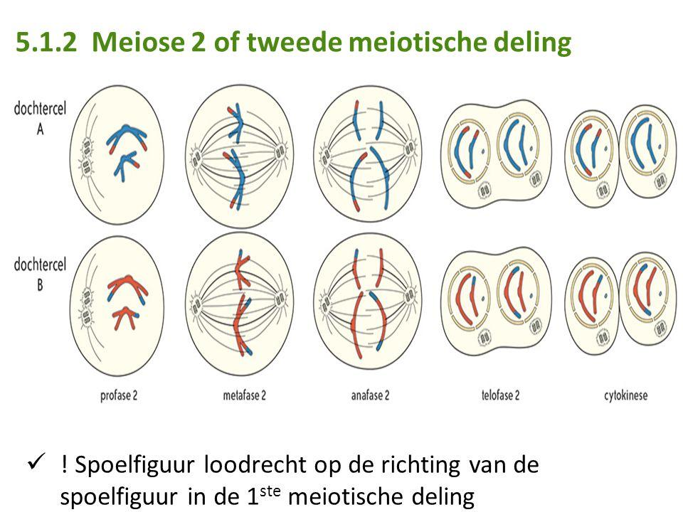 5.1.2 Meiose 2 of tweede meiotische deling ! Spoelfiguur loodrecht op de richting van de spoelfiguur in de 1 ste meiotische deling