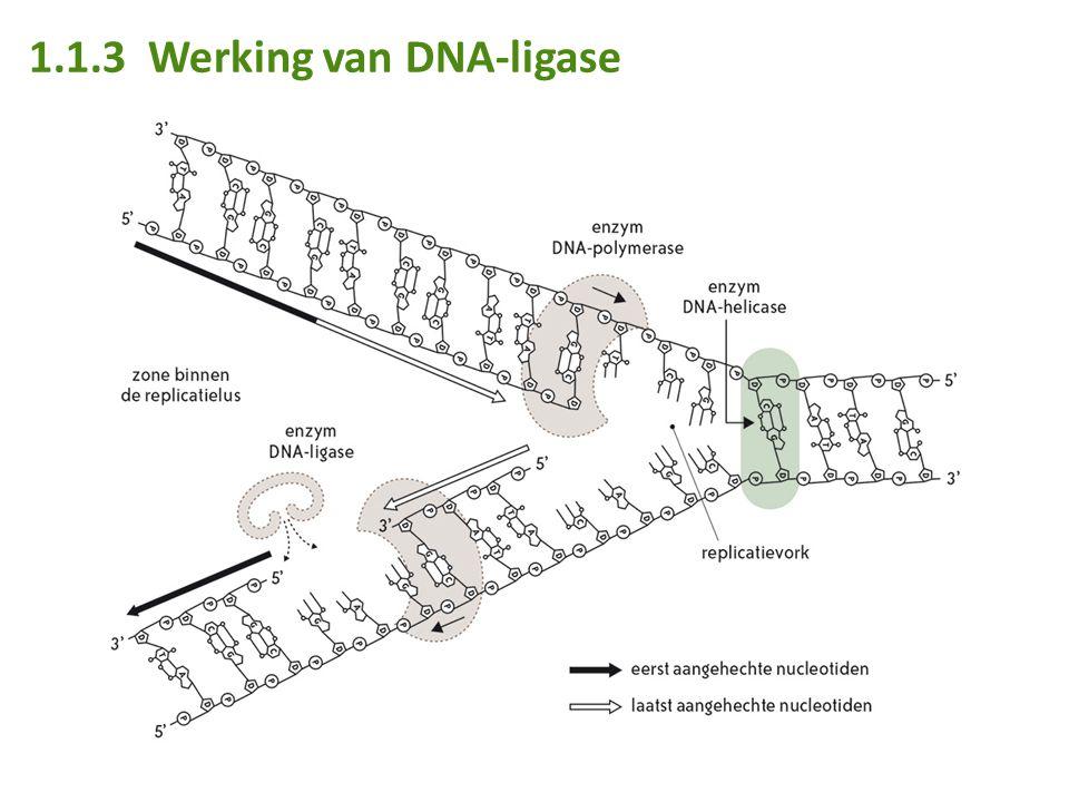 1.1.3 Werking van DNA-ligase