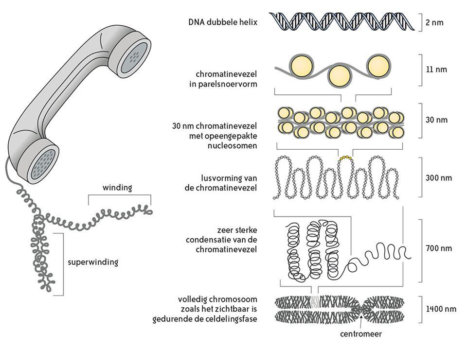Mitose 4 4 4.1Mitose als onderdeel van de celcyclus Toename celvolume DNA-replicatie Aanmaak histonen Verdubbeling van het centriolenpaar