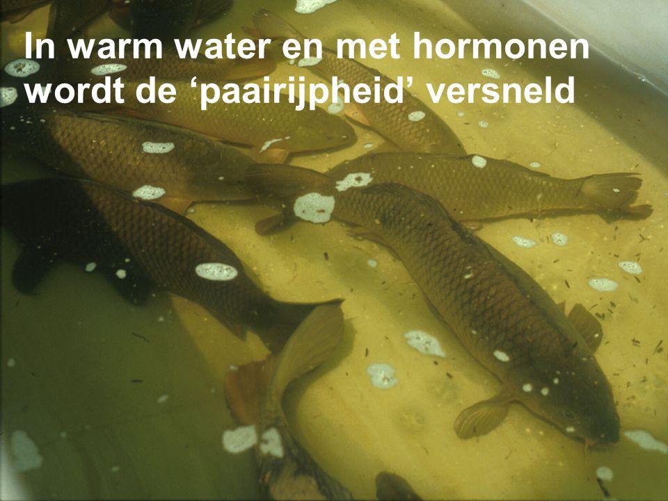 In warm water en met hormonen wordt de 'paairijpheid' versneld