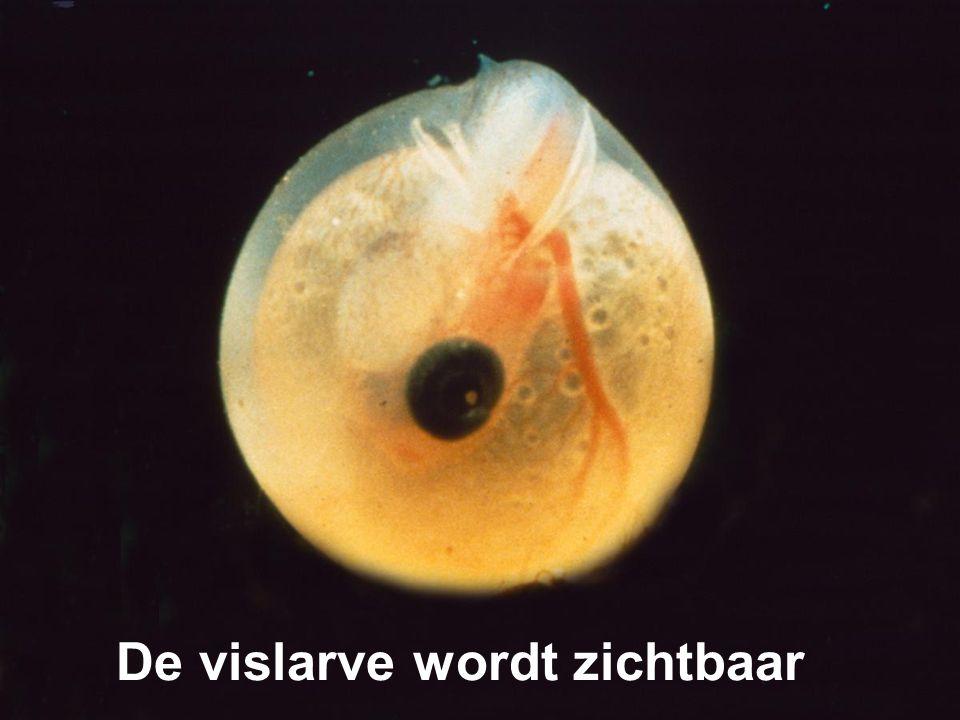 De vislarve wordt zichtbaar
