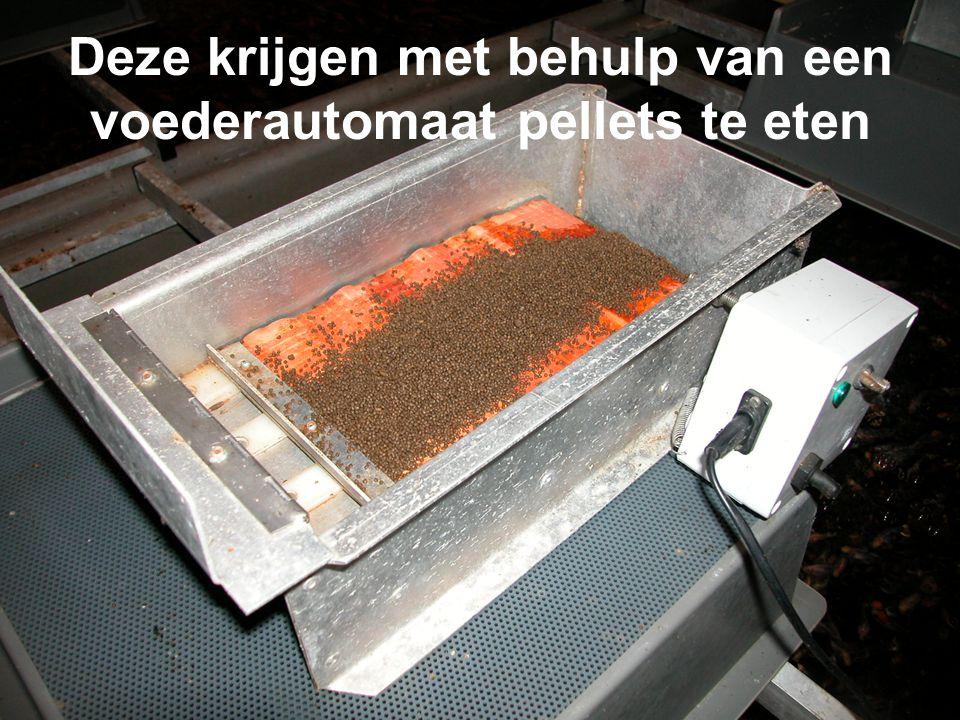 Deze krijgen met behulp van een voederautomaat pellets te eten