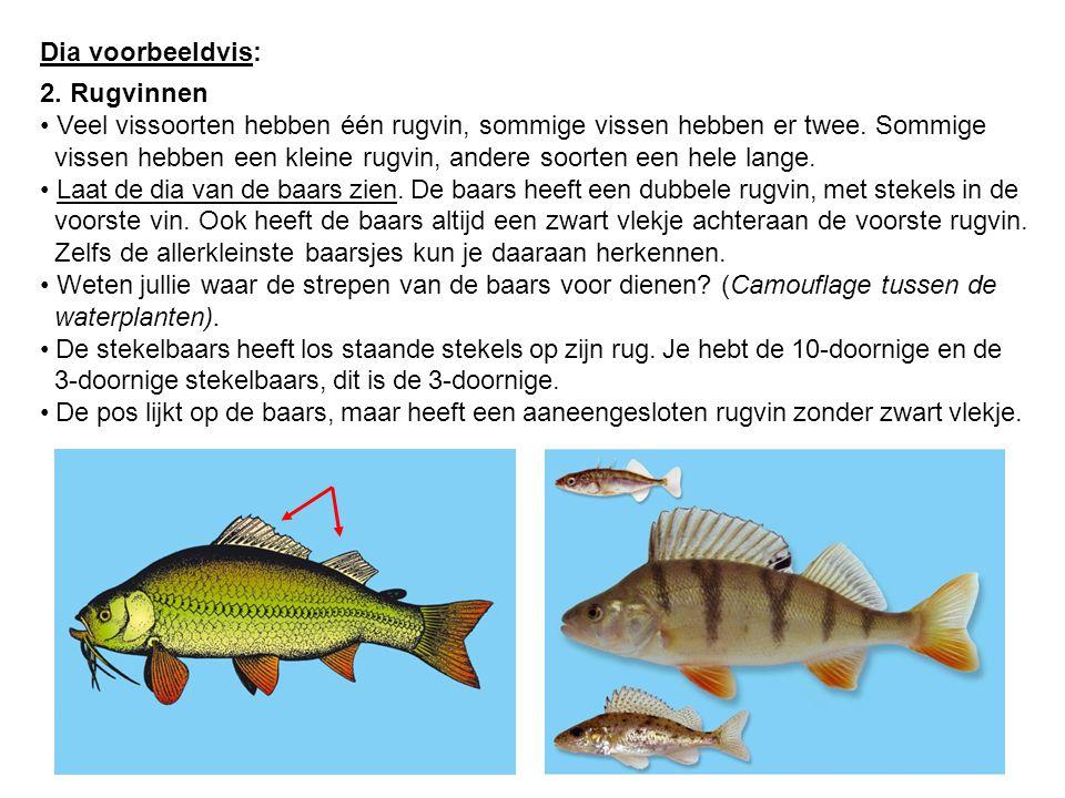 Dia voorbeeldvis: 2. Rugvinnen Veel vissoorten hebben één rugvin, sommige vissen hebben er twee. Sommige vissen hebben een kleine rugvin, andere soort