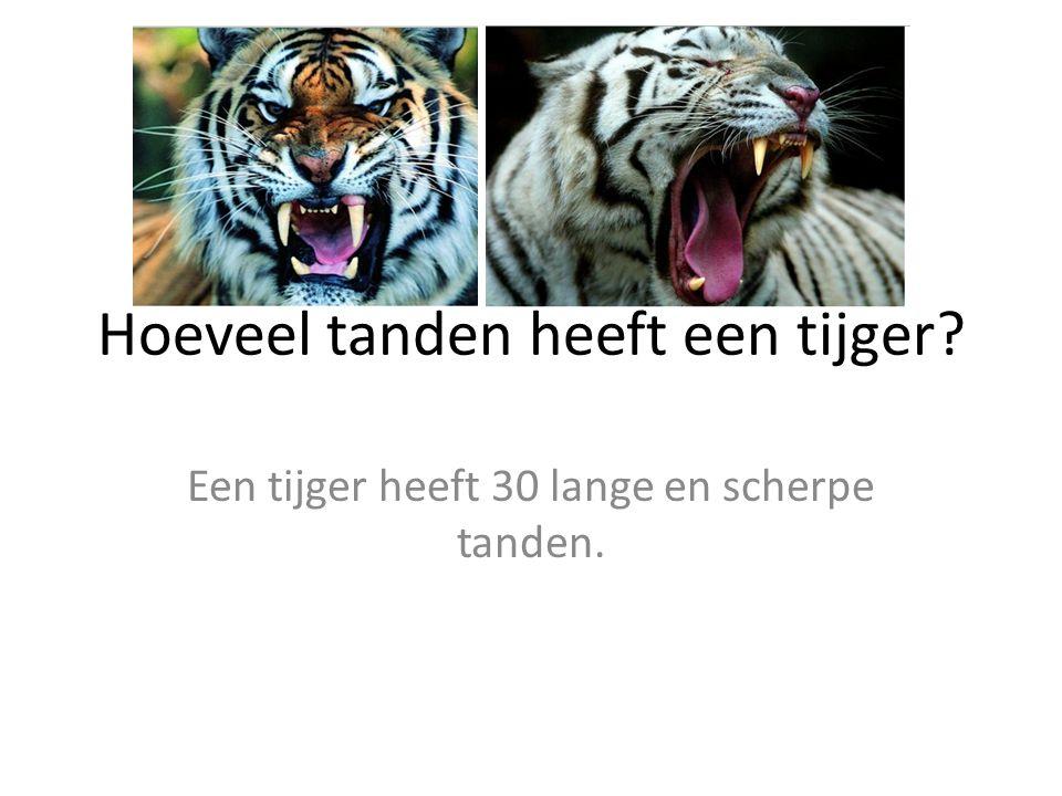 Hoeveel tanden heeft een tijger? Een tijger heeft 30 lange en scherpe tanden.