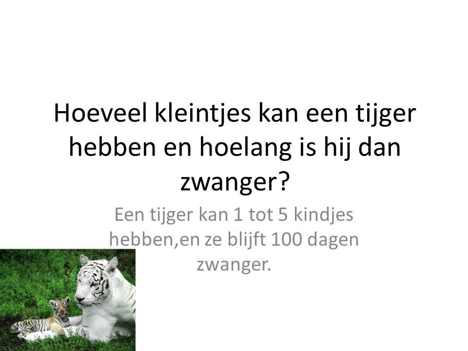 Hoeveel kleintjes kan een tijger hebben en hoelang is hij dan zwanger? Een tijger kan 1 tot 5 kindjes hebben,en ze blijft 100 dagen zwanger.