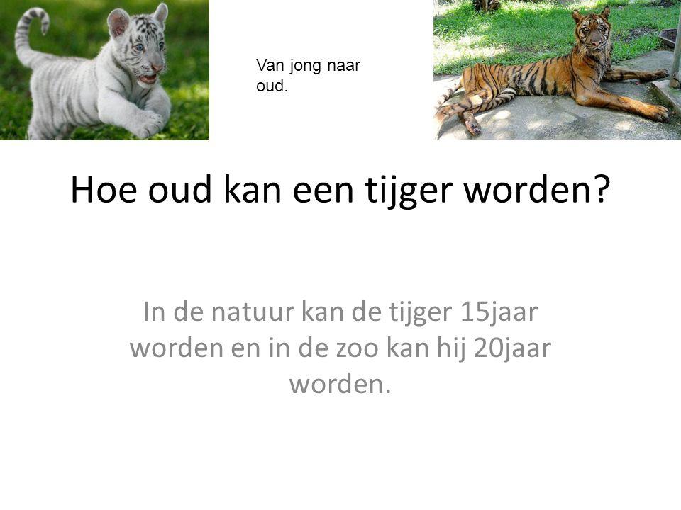 Hoe oud kan een tijger worden? In de natuur kan de tijger 15jaar worden en in de zoo kan hij 20jaar worden. Van jong naar oud.