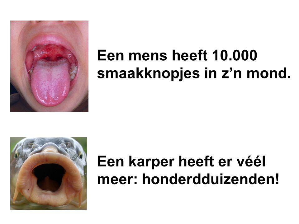 Een karper heeft er véél meer: honderdduizenden! Een mens heeft 10.000 smaakknopjes in z'n mond.