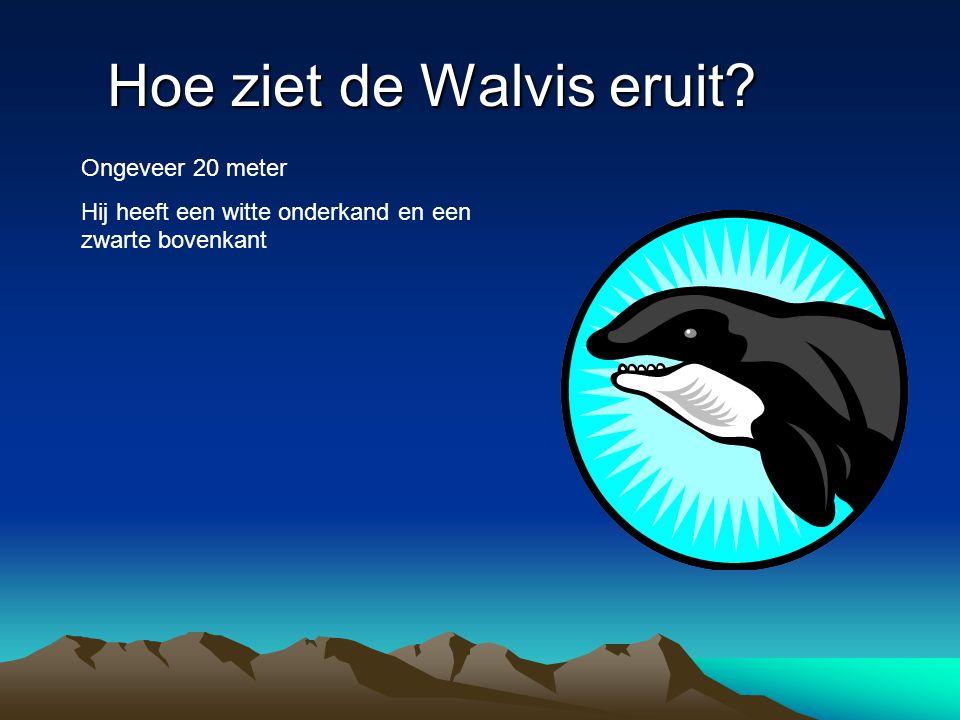 Hoe ziet de Walvis eruit? Ongeveer 20 meter Hij heeft een witte onderkand en een zwarte bovenkant