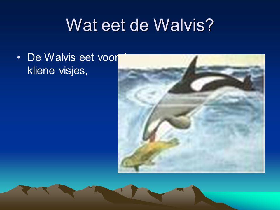 Hoe plant de walvis zich voort De voortplanting verschilt per soort.