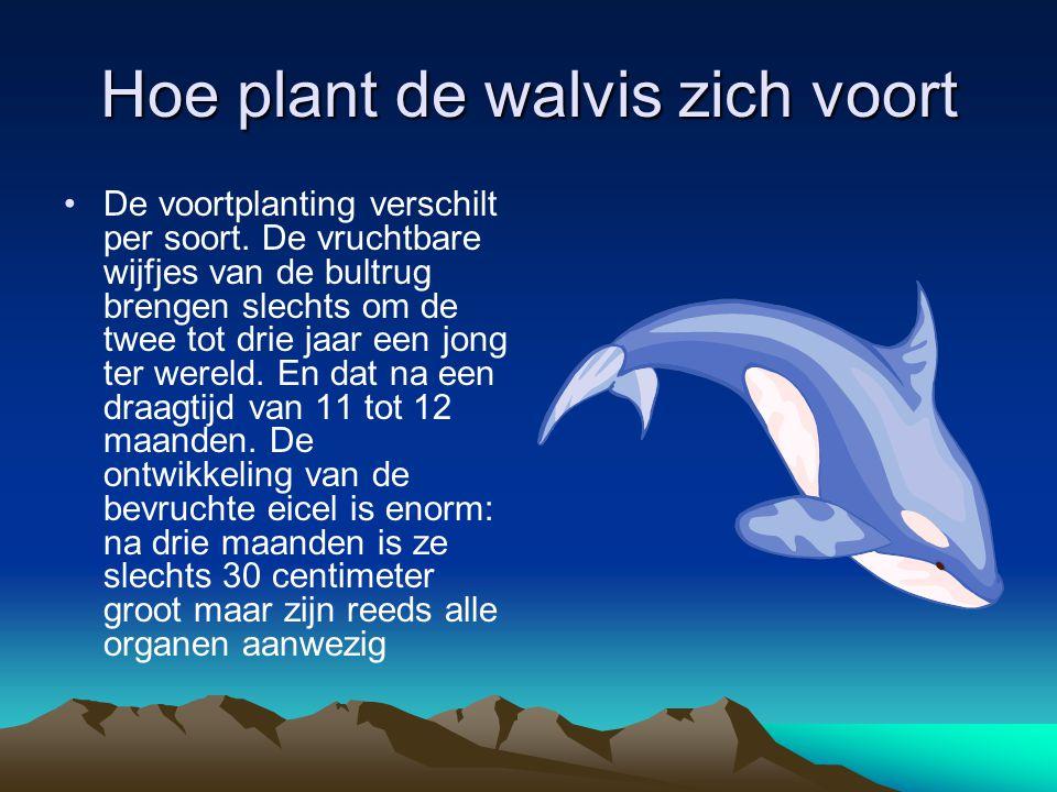Hoe plant de walvis zich voort De voortplanting verschilt per soort. De vruchtbare wijfjes van de bultrug brengen slechts om de twee tot drie jaar een