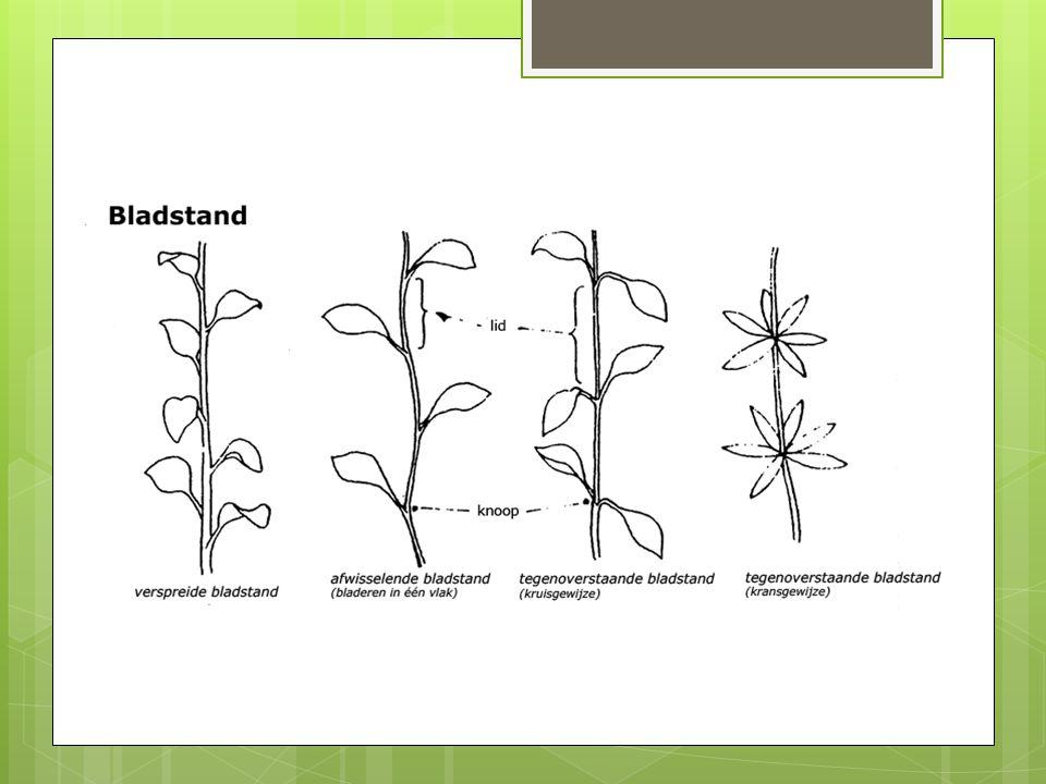 Opdracht  Kom om de tafel heen staan.  Zoek vier planten met een verschillende bladstand.